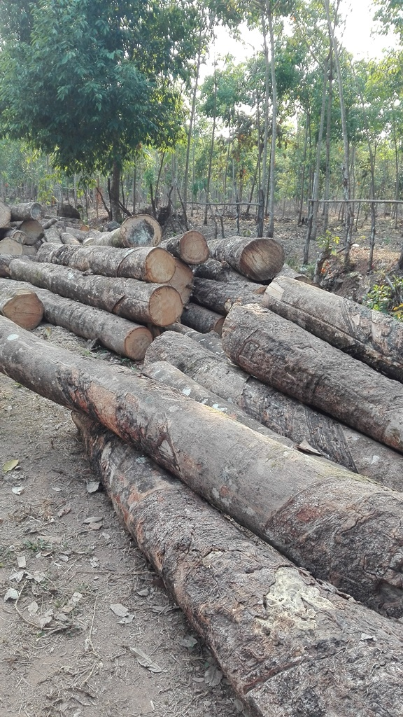 Plantation owners cut down rubber trees as prices continue